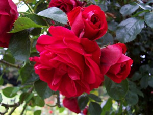 Rosen natürlich auf einem Foto festhalten